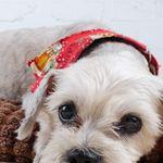 Cutest Shih Tzu Puppy Shihtzu Shih Tzu Puppy Shih Tzu Dog Shih Tzu