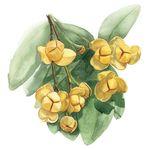 Rumdul Flower Google Search Botanical Painting Cambodian Art Botanical Illustration