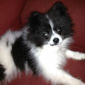 The many things we all enjoy about the Inquisitive Pomeranian Puppy Everything A…   – Animals