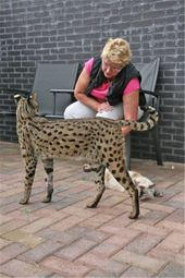 Savannah Cat Breed Information Facts & 30+ Pictures – Katzen