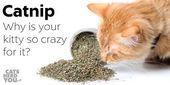 Katzenminze: Warum Ihre Katze es liebt