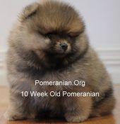Pomeranian puppies. Dochlaggie Pomeranian Puppies   – Pom's
