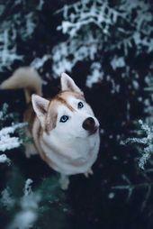 #Husky siberiano   – animals ✨