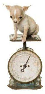 Chihuahua Puppy Weight Chart : chihuahua, puppy, weight, chart