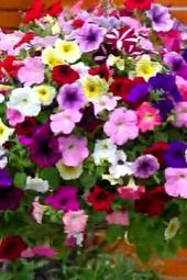 Petunias Are At Their Most Fragrant In The Evening So Add A White