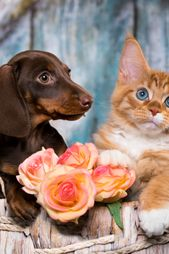 Cat And Dog Dachshund Puppy Chocolate Color And Kitten Red