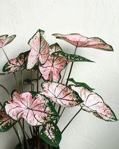 @growingwithkate 💗✨ Pink #Caladium ✨💗 . …
