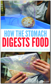 How the stomach breaks down food 2