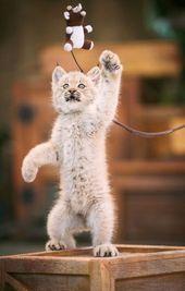 Lovable Lynx Living Large Cute Animals Lynx Kitten Animals