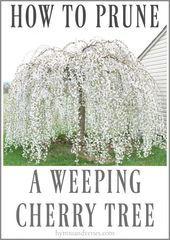 Wie Man Einen Weinenden Kirschbaum Beschneidet Hymnen Und Verse Beschneidet Einen Hymn Weeping Cherry Tree Weeping Trees Cherry Trees Garden