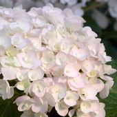 Endless Summer 1 Gal. Blushing Bride Hydrangea(Macrophylla) Live Deciduous Shrub, White Blooms Blush to Blue or Pink-26321 – Flowers