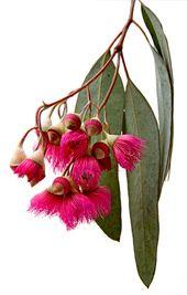 Eucalyptus flowers | How beautiful is this fuchsia color? #fuchsia #pods #ihavethi …  – festliche