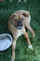 Jaeger Is An Adoptable Boxer Dog In Hastings Mn Jaeger Is A Mini Boxer Tops Out At About 30 Pounds Tops Loyal Personali Boxer Dogs Dogs Labrador Retriever