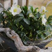 Weiße, robuste Weihnachtsrose (Helleborus niger) Weihnachtsrose & # 39; WinterSun® & # 39;   – Volmary Blumengarten – Blumen pflanzen & pflegen