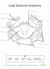 Crab Anatomy Worksheet Education Com Zoology Anatomy Biology Labs