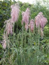 How Do I Grow My Pampas Grass Seeds Indoors Blog Growjoy Pampas Grass Seed Grass Seed Pampas Grass