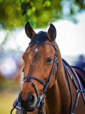 Les Fonds D Ecran Un Cheval Avec Un Mors Pelham Fond Ecran Cheval Cheval Photographie Equestre