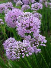 9 Drought Tolerant Ornamental Onion Plants Deter Small Rodents Perennial Plants Flowers Perennials Perennials