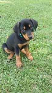 Love My Doberman Lab Mix Lab Mix Puppies Rottweiler Mix Rottweiler Mix Puppies