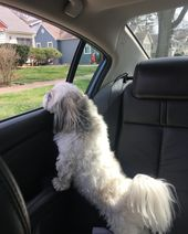 Absolutely love car rides! 🚗🚙 #shitzu #dog #pet #dogsofinstagram #dogs #   – Poodle