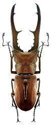 Lucanidae Australische Region Tierbilder Insekten Australische