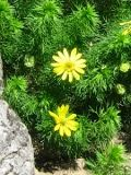 Kwiaty Ogrodowe Na Litere P Str 1