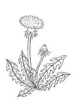 Coloring Page Dandelion Malvorlage Lowenzahn Coloring Page