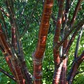 Prunus serrula Tibetica – Birkenrinde Cherry Tree   – Trees hedges garden