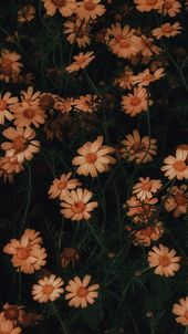 10801920 Chamomile flowers bloom as wallpaper