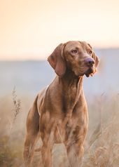 Hungarian hound pointer vizsla
