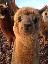 Cet alpaga souriant   – Lustige Tiere