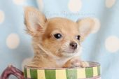 south florida chihuahua puppies for sale in south florida chihuahua … – I Adore Chihuahua's!