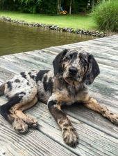 El Catahoula Leopard Dog es un perro realmente fascinante. Aquí está la razón.   – Hunde Bilder