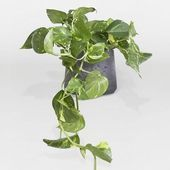 Aboutpolly Pothos Is A Tropical Vine Which Is Commonly Grown As A Houseplant Ski Aboutpolly Commonly Grown Houseplantski Pothos Tropical Vine In 2020