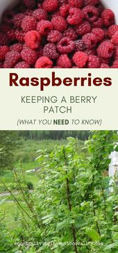 The Raspberry Patch Needs a Fall Cleanup – Prune Raspberry Plants