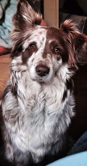 Gorgeous patterned Red Australian Shepherd; such a beautiful face || Striking for its beautiful …   – festliche