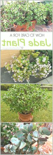 How to Care for a Jade Plant, #care #Jade #Plant