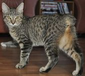 """Many Manx have a small """"stub"""" of a tail, but Manx cats are best known as being e… – Black cats & Bob Tails"""