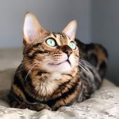 Wanted To Drop By And Share A Picture Of My Beautiful Bengal With