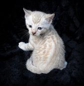 Adorable Snow Bengal Kittens On Asianfirebengals Com Bengal
