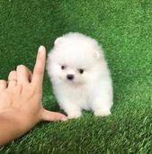 Hhhkhkj Priceless White Pomeranian Puppy For Adoption   – Cute baby animals
