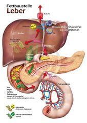 Physiologie-Poster für Biochemie und Pharmazie, Stoffwechsel, Abbau von Fetten … – Hae-Sook Böer