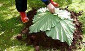 Il dépose four feuilles de rhubarbe sur une butte de terre! Je n'avais encore jamais vu ce qu'il s'apprête à faire!