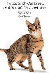 The Savannah Cat Breed, What You Will Need and Want to Know – Catvills