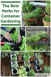 Uncover one of the best herbs for container gardening and loads of rising ideas. #her…