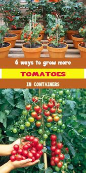 6 methods to develop extra tomatoes in containers