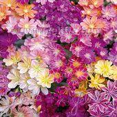Lewisia Seeds – Lewisia Rainbow Hybrids Flower Seed Mix