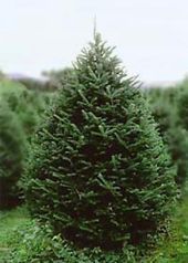 Paines Christmas Trees Morrisville Vt Christmas Tree Farm Tree Farms Christmas Past
