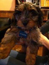 Image result for mauxie dogs   – Mastador/ Mastapeake/ Mastidoodle/ Mauxie/ Mauzel/ Meagle/ Mi-Kitese/ Mi-Orkie/ Min Pin Frise