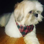 #Pet #shihtzu #shitzu #AuAu #MyDog #Pets   – Cute Animals